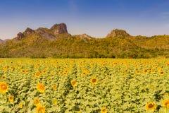 Bedingung der vollen Blüte der Sonnenblume mit Berg lizenzfreies stockfoto