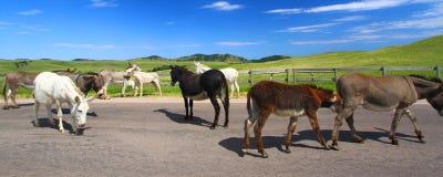 Bedjande Burros Custer State Park royaltyfria foton
