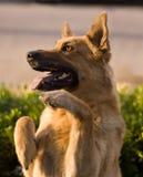 bedjande hund Royaltyfria Bilder