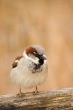 bedjande matsparrow Royaltyfri Foto