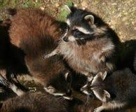 bedjande raccoon Royaltyfri Foto