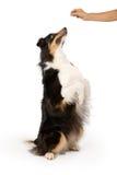 bedjande treat för hundmixherde Arkivbilder