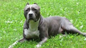 Bedlam Blue, NYCACC Survivor Stock Photo