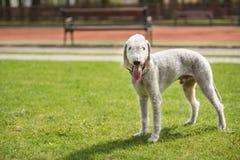 Bedligton Terrier utomhus- foto arkivbilder