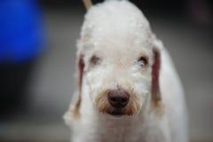 Bedlington Terrier Royalty Free Stock Photo