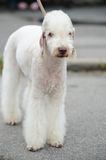 Bedlington Terrier Stock Image