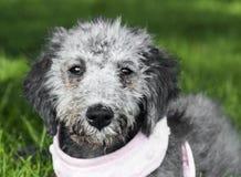 Bedlington Terrier royaltyfri foto