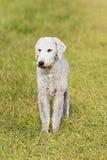 Bedlington Terrier alleinstellung mit selektivem Fokus des ungenutzten Raumes Stockbilder