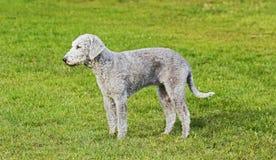 Bedlington Terrier alleinstellung mit ungenutztem Raum Stockfotografie