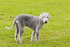 Bedlington-Terrier auf grünem Feldhintergrund stockfotos