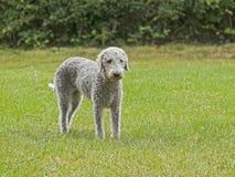 Bedlington-Terrier, der auf einem Gebiet steht stockbilder