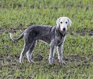 Bedlington-Terrier, der auf einem Gebiet steht Lizenzfreie Stockfotos