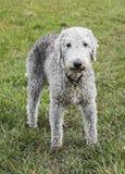 Bedlington-Terrier, der auf einem Gebiet steht stockfoto