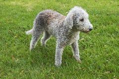 Bedlington-Terrier, der auf einem Gebiet steht Stockbild