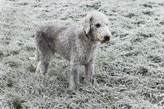 Bedlington-Terrier, der auf einem gefrorenen Wintergebiet steht stockbild