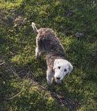 Bedlington-Terrier, der oben schaut Lizenzfreies Stockbild