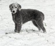 Bedlington Terrier im Schnee Lizenzfreie Stockfotografie