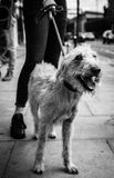 A Bedlington Terrier and Lurcher cross dog stands with owner looking to the right royalty free stock photography