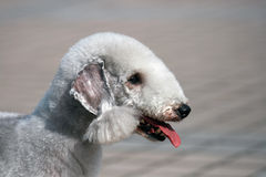 Bedlington terrier portrait Royalty Free Stock Image
