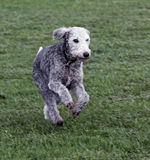 Bedlington terrier running Royalty Free Stock Photography