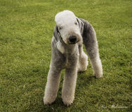 A Bedlington Terrier Stock Images