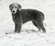 Bedlington Terrier in snow Royalty Free Stock Photography