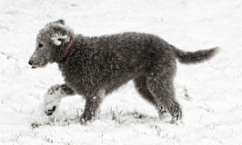 Bedlington Terrier in sonw Stock Image