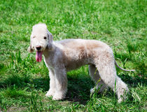 Bedlington terrier standing Royalty Free Stock Image