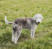 Bedlington Terrier standing in a field with erect tail Royalty Free Stock Images