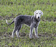 Bedlington terrier standing in a field Royalty Free Stock Photos
