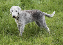 A Bedlington Terrier standing in a field Stock Photos
