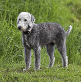 Bedlington Terrier standing on green grass Royalty Free Stock Image