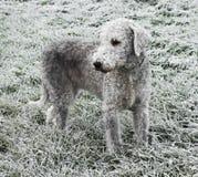 Bedlington-Terrier steht auf einem gefrorenen Wintergebiet Lizenzfreies Stockbild