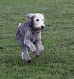 Bedlington-Terrierbetrieb Lizenzfreie Stockfotografie