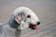 Bedlington Terrierportrait Lizenzfreies Stockbild