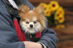Bedorven hond Stock Foto's