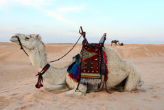 Bedouin camel. Saddled bedouin camel sitting down in a desert royalty free stock photos