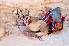 Bedouin camel. One bedouin camel in Petra, Jordan royalty free stock photo