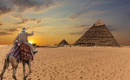 A bedouin on a camel in front of the Great Pyramids of Giza.  royalty free stock images