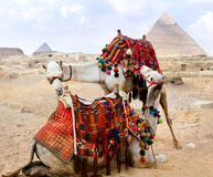 Bedouin camel rests near the Pyramids Stock Photography