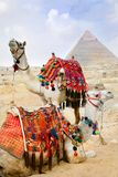 Bedouin camel rests near the Pyramids Royalty Free Stock Images