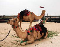 Bedouin camels royalty free stock photos