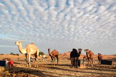 Bedouin camels. Stock Photo: Camels in Bedouin camp in Sahara desert, Tunisia, Africa royalty free stock photo