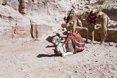 Bedouin camels Stock Photo