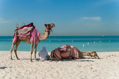 Bedouin with camels on the beach Royalty Free Stock Photo
