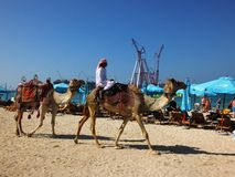 Bedouin with camels on the beach Royalty Free Stock Photography