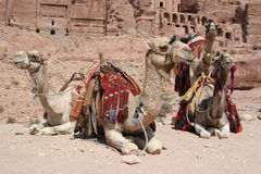 Bedouin Camels at Petra, Jordan. Bedouin's camels rest in front of tombs at the lost city of Petra in Jordan - one of the seven modern wonders of the world. Main royalty free stock image