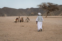 Bedouin and Camels Stock Photo