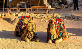 Bedouin camels rest in the ancient city of Petra Royalty Free Stock Photography