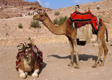 Bedouin camels in Petra, Jordan Royalty Free Stock Photography
